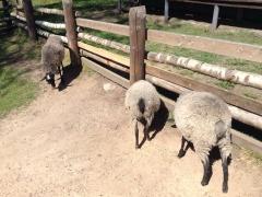 Тутаев, музей Романовская овца